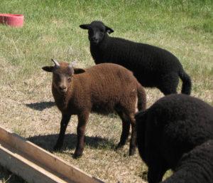 Lovely Ram Lamb